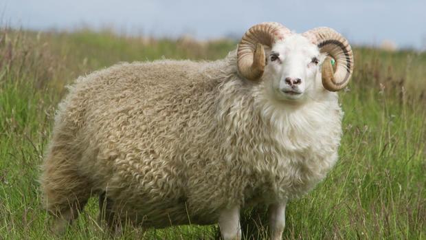 Panduan Ternak Domba Untuk Pemula