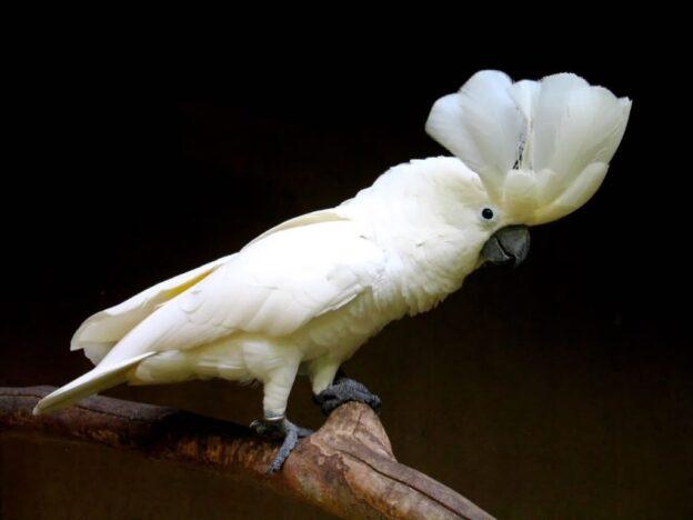 Cara Melatih Burung Kakaktua Agar Pandai Bicara